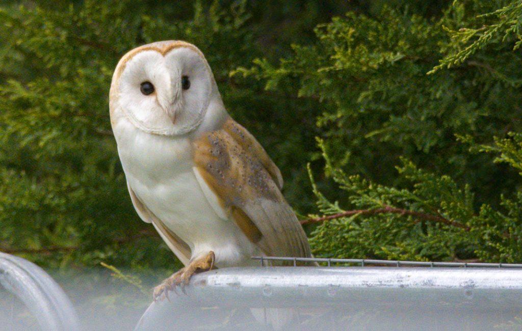 Norfolk Part 2 – Barn Owls